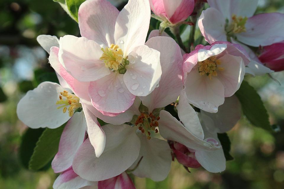 Spring, Apple, Flowers, Bloom, Garden, Nature