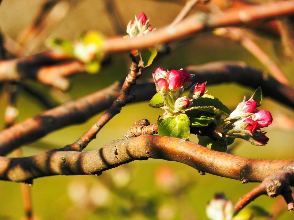 Buds, Flowers, Spring, Apple, Nature, Vegetation