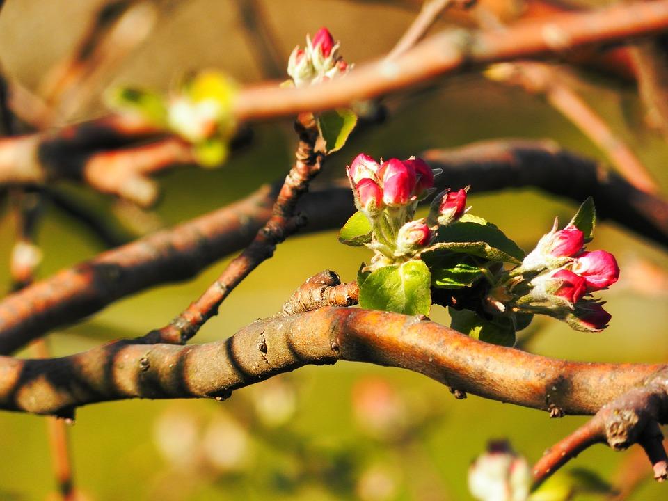 Buds, Flowers, Spring, Apple, Nature, Vegetation