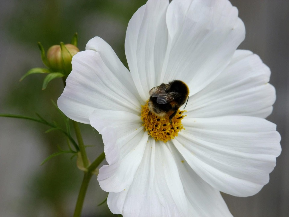 Flowers, Bee, Cosmos, Spring, Nature, Plant, Bumble