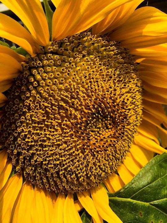 Nature, Spring, Flowers, Sunflower