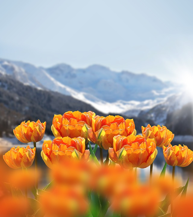Nature, Spring, Flowers, Tulips, Spring Flowers