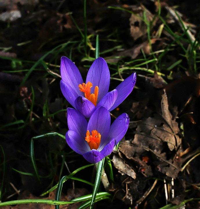 Crocus, Flowers, Blue, Spring Flowers, Plant, Garden