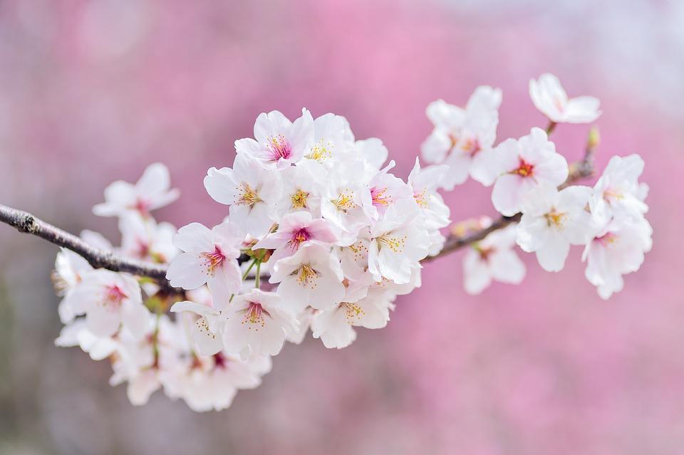 Cherry Blossoms, Landscape, Spring, Plant, Flowers