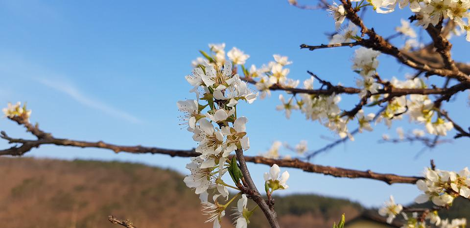 Plum, Plum Flower, Flowers, Spring, Spring Flowers