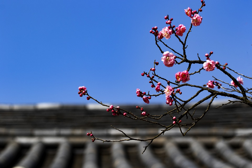 Red Plum, Flowers, Plum, Spring, Nature, Spring Flowers