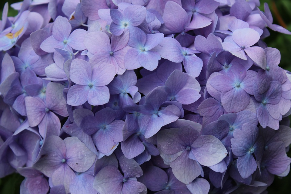 Purple, Flowers, Spring, Rain Droplets