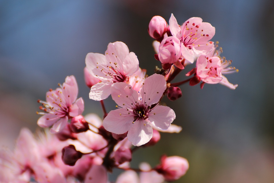 Blood Plum, Flowers, Spring, Tree, Bloom, Red Leaf