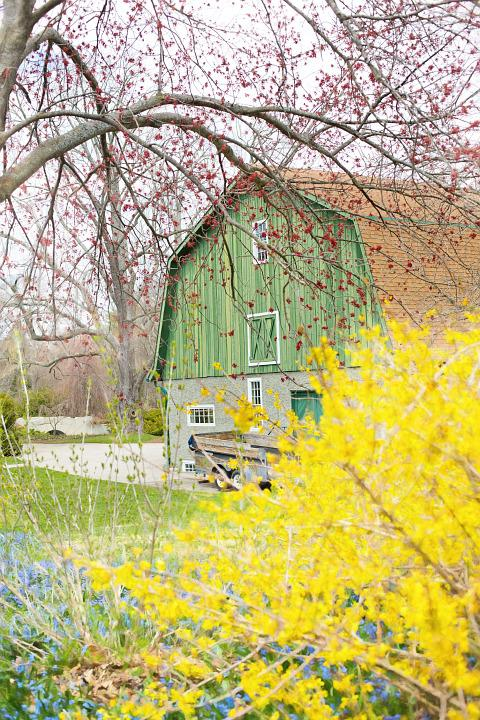 Barn, Spring Flowers, Forsythia, Country, Rustic