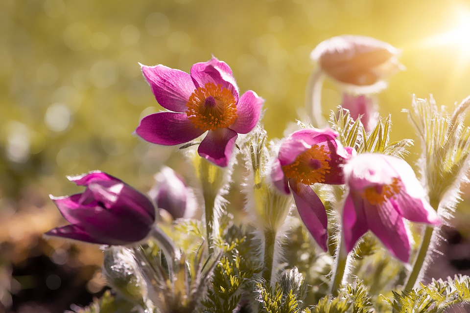 Anemones, Flowers, Spring, Spring Flowers, Purple