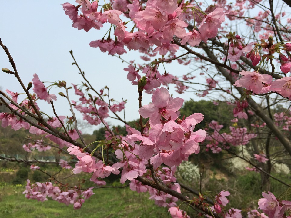 Cherry, Sunlight Sakura, Spring, Spring Flowers