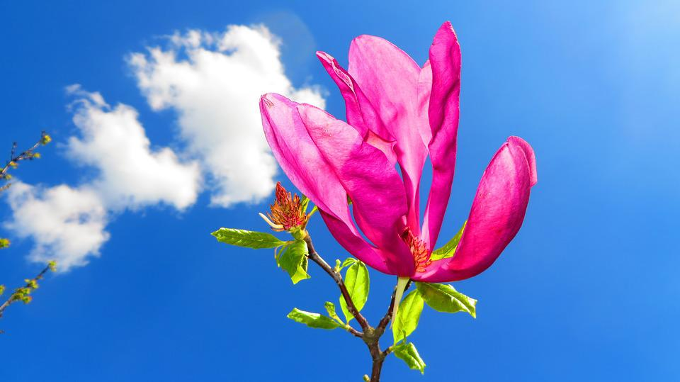 Magnolia, Flowers, Spring, Pink, Garden, Tree