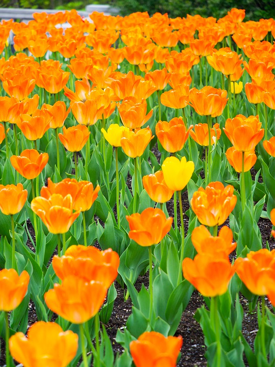 Tulip, Flowers, Spring, Natural, Spring Flowers, Plant