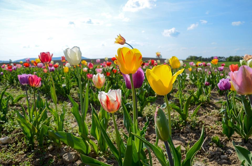 Tulips, Tulip Field, Tulpenbluete, Spring Flowers