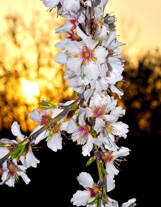 Spring Flowers, Almond, White