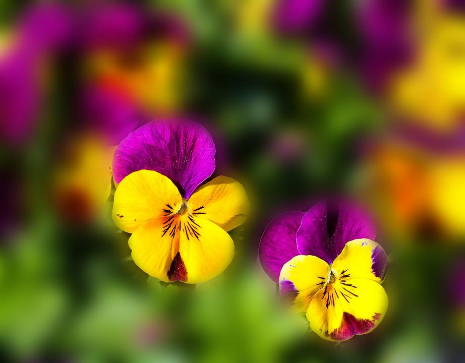 Flowers, Pansy, Spring, Color, Yellow