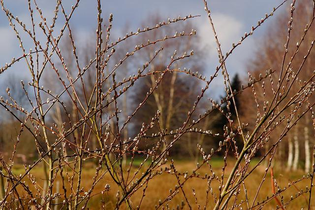 Spring, Pussy Willow, Pasture, Fluffy, Nature, Bush