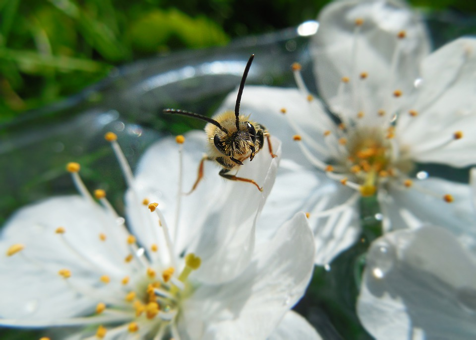 Bee, Flowers, Spring, Insect, Flying