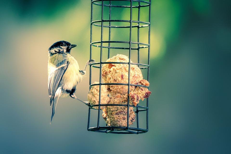 Tit, Bird, Food, Blue Tit, Songbird, Animal, Spring