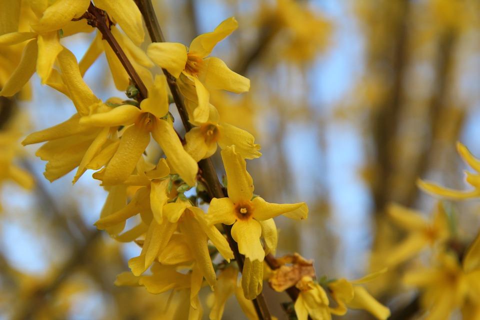 Forsythia, Yellow Flower, Spring