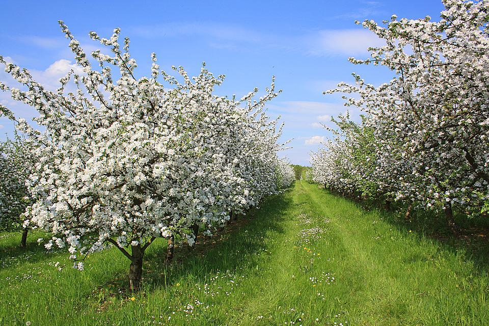 Apfelbluehte, Spring, Fruit, Nature, Spring Flower