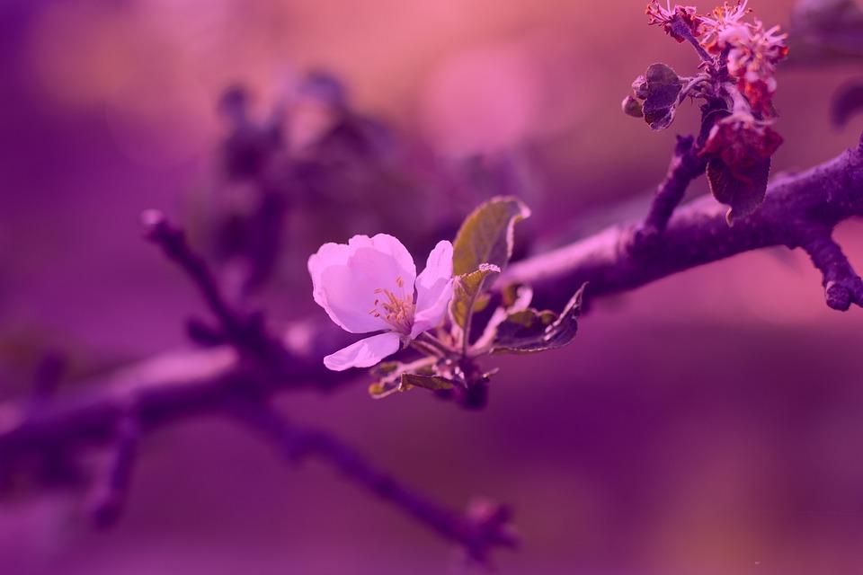Apple Tree, Apple, Blossom, Fruit, Branch, Spring