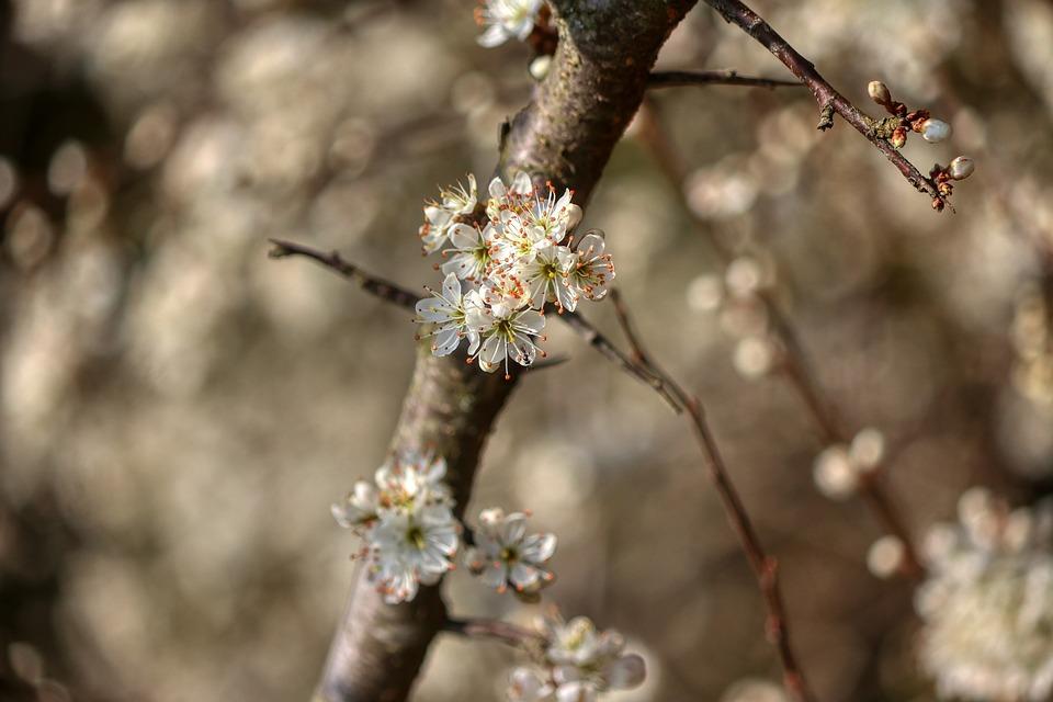 Spring, Bloom, Fruit Tree, Plant, White, Botanical