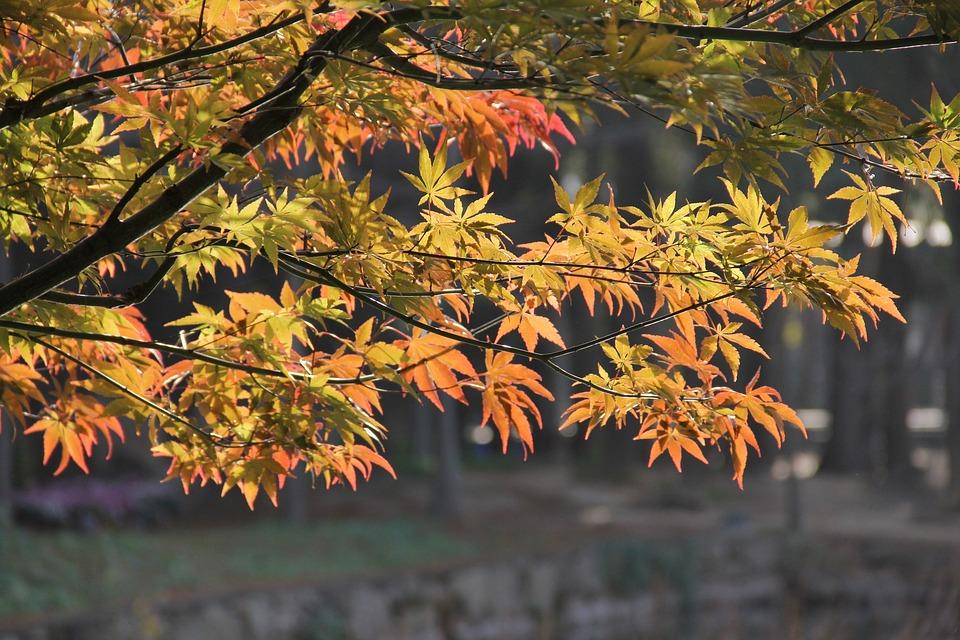 Red Maple, Spring, China Wind, Garden