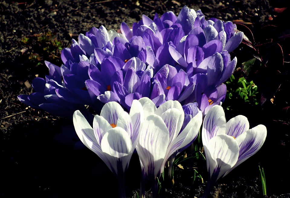 Crocus, Spring, Flowers, Plants, Garden, Flourishing