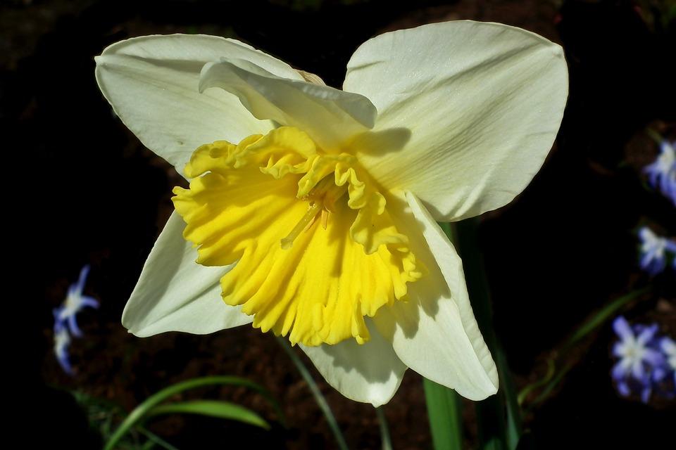 Narcissus, Flower, Spring, Easter, Garden, Macro