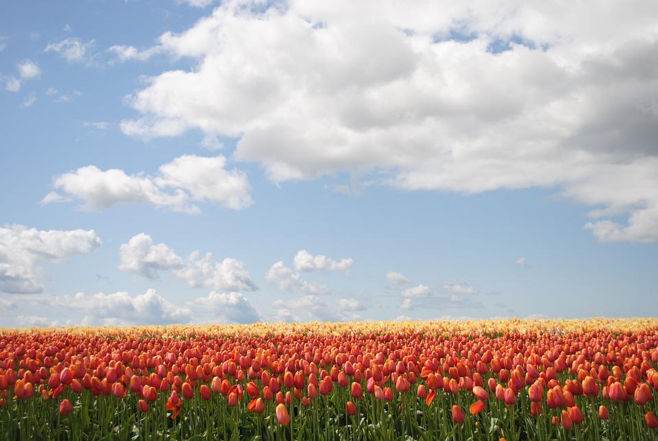 Flowers, Tulip, Field, Bloom, Spring, Garden, Blossom