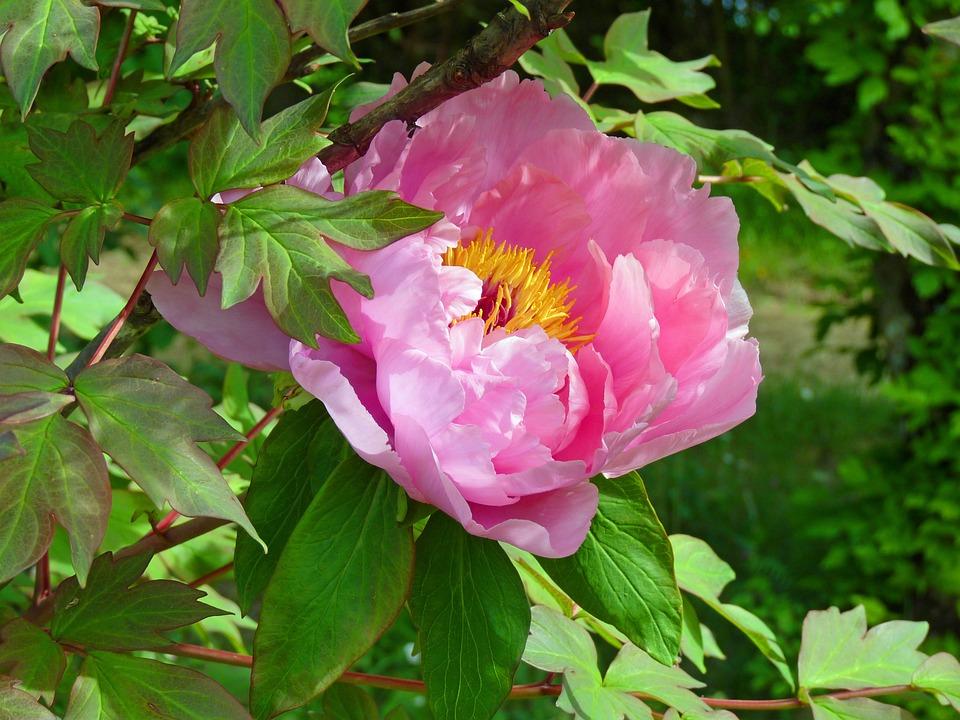 Flower, Peony, Pink, Spring, Garden