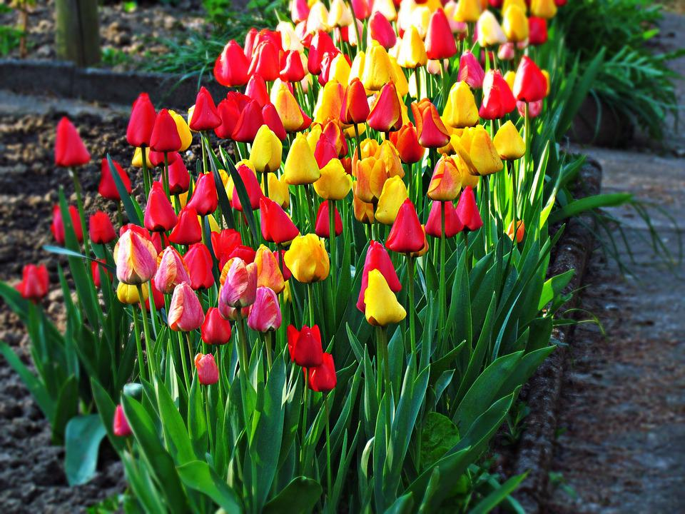 Flowers, Tulips, Garden, Plant, Beauty, Spring