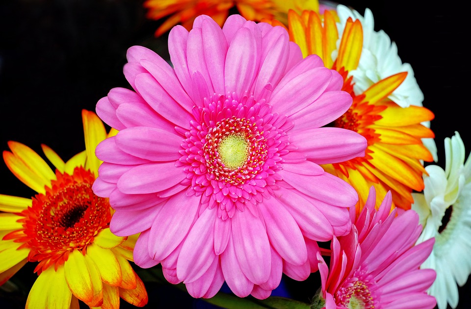 Gerbera, Blossom, Bloom, Pink, Flower, Spring, Close