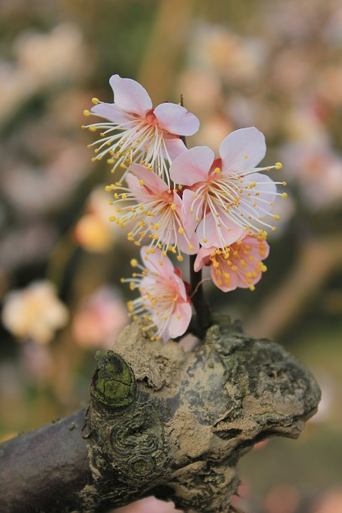 Plum Blossom, Spring, Germination, Brilliant