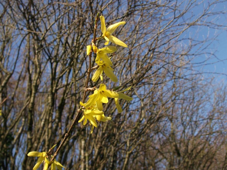 Forsythia, Ornamental Shrub, Golden Bells, Spring