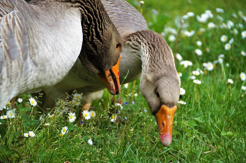 Goose, Large, Bird, Head, Beak, Grass, Spring, Breeding