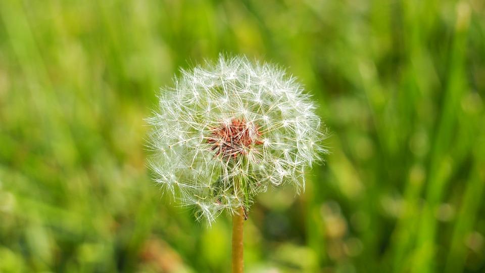 Dandelion, Plant, Nature, Spring, Grass, Wild, White