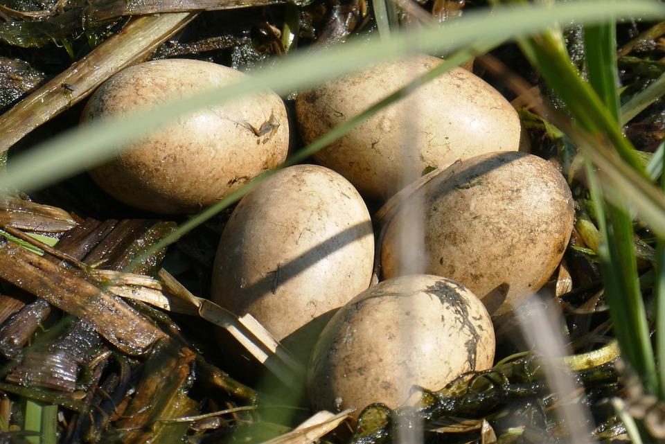 Nest, Eggs, Great-crested Grebe Eggs, Spring, Grebe