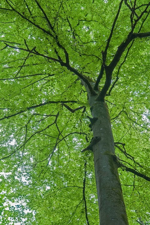 Beech, Spring, Tree, Leaves, Green