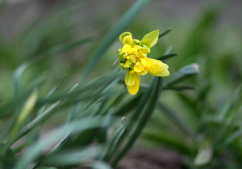 Daffodil, Yellow, Flowers, Spring, Green