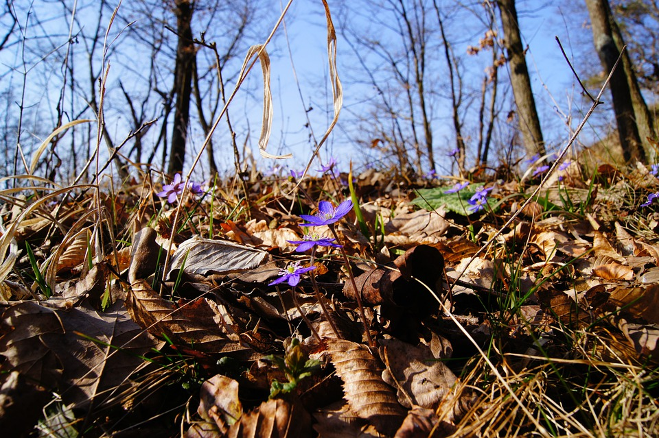 Hepatica, Spring, Purple, Blossom, Bloom, Flower