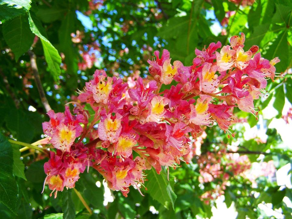Free photo spring horse chestnut flower pink flower max pixel horse chestnut flower pink flower spring mightylinksfo