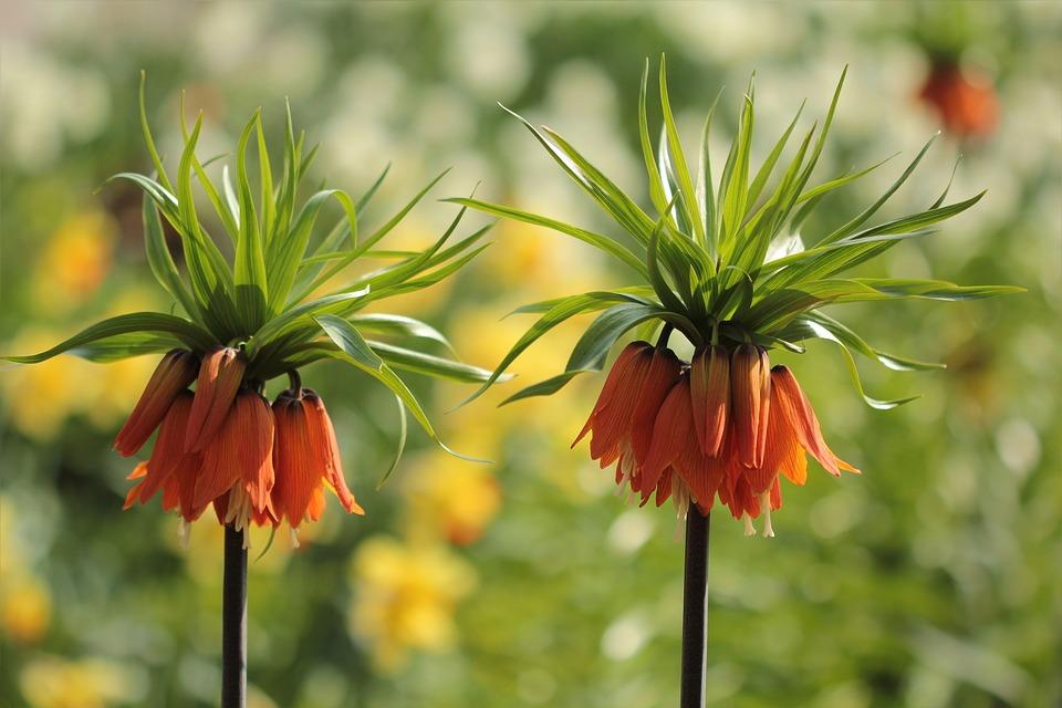 Flowers, Imperial Crown, Orange, Spring, Park