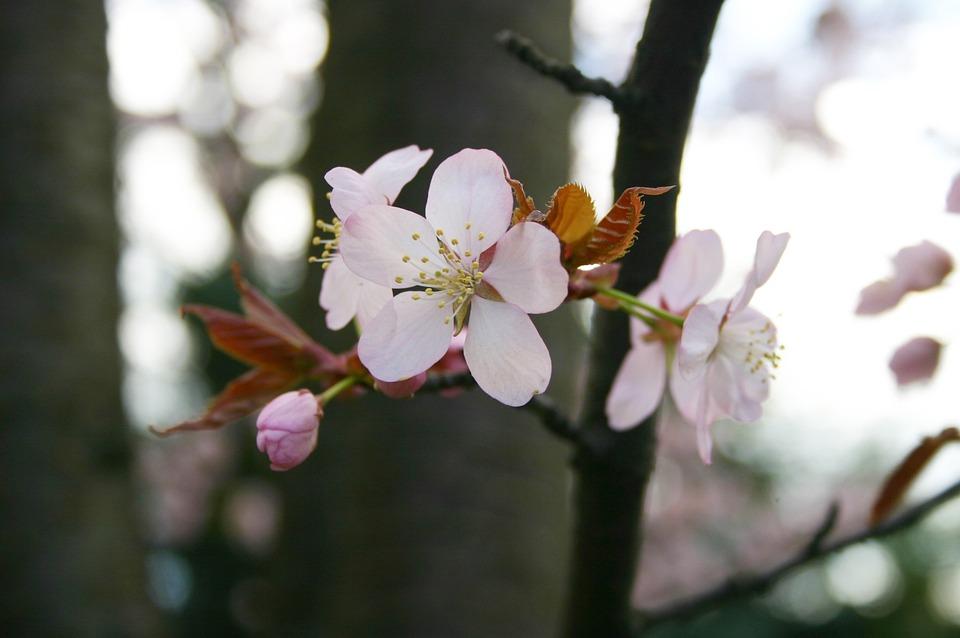 Sakura, Spring, Japan, Bloom, Tree