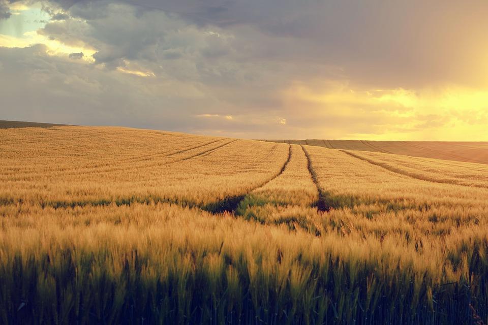 Nature, Landscape, Field, Cornfield, Spring