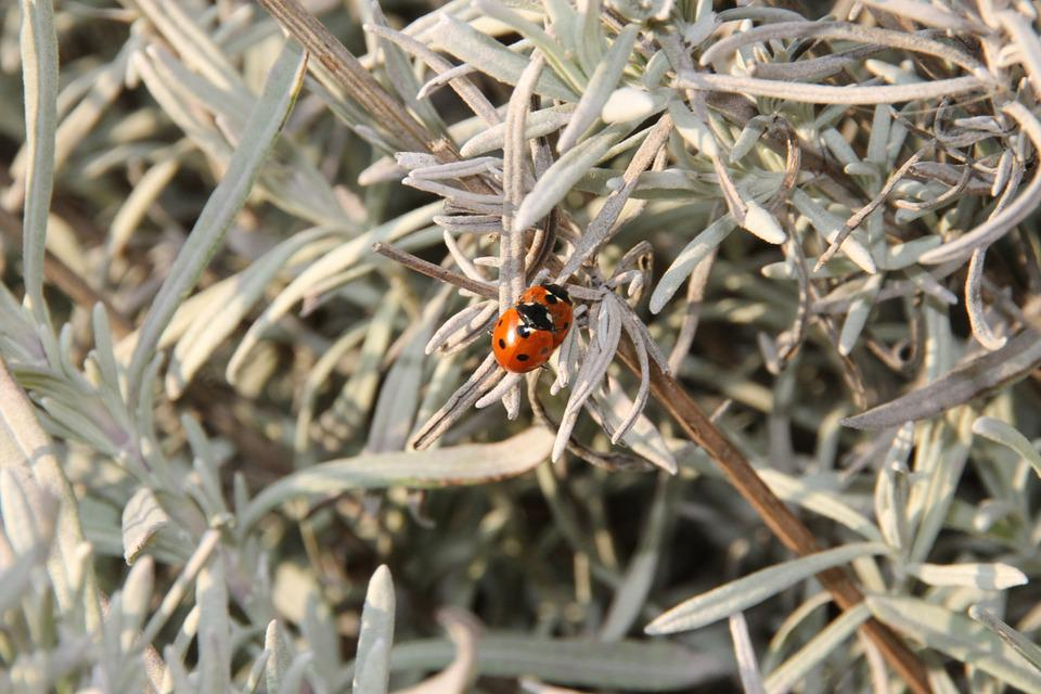 Lavender, Ladybug, Spring, Pairing, Insect, Nature