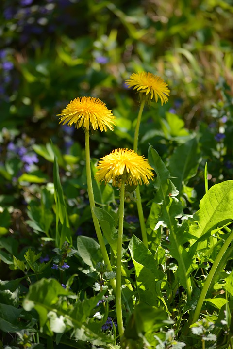 Spring, Nature, Dandelion, Flower, Leaves, Yellow