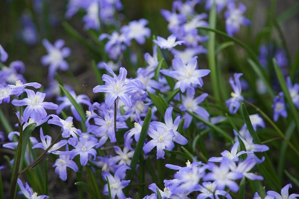 Squills, Flowers, Leaves, Scilla, Blue Flowers, Spring