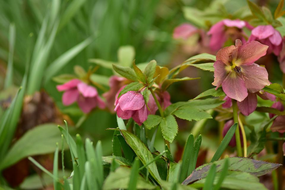 Lenten Rose, Wildflowers, Spring, Plant, Nature, Green